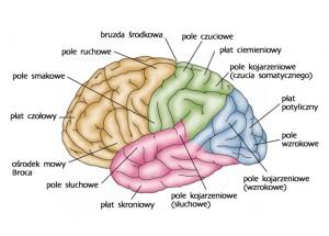 Opony mózgowo-rdzeniowe (łac. meninges l. poj. meninx) – błony zbudowane z tkanki łącznej zbitej otaczającej mózgowie oraz rdzeń kręgowy. Ich funkcją jest ochrona mózgowia przed urazami mechanicznymi, a płyn mózgowo-rdzeniowy znajdujący się między nimi pełni funkcje amortyzacyjne. Zarówno mózgowie jak i rdzeń kręgowy są pokryte trzema oponami. Od zewnątrz: opona twarda (łac. dura mater) – najgrubsza, opona pajęcza (pajęczynówka, łac. arachnoidea) – zwykle przyrośnięta do opony twardej, chociaż w sytuacji patologicznej może powstać pomiędzy nimi przestrzeń podtwardówkowa (łac. spatium subdurale), opona miękka (łac. pia mater) – zrośnięta bezpośrednio z rdzeniem kręgowym i mózgowiem. W wielu miejscach pajęczynówka łączy się z oponą miękką za pośrednictwem pasm i beleczek łącznotkankowych. W innych okolicach obie opony oddalają się od siebie, tworząc wypełnioną płynem mózgowo-rdzeniowym przestrzeń podpajęczynówkową (łac. spatium subarachnoideale).