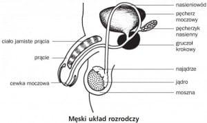 męski_układ_rozrodczy