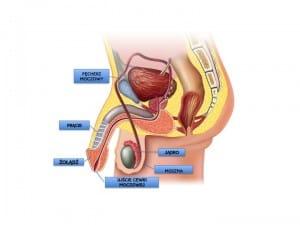 Budowa narządu płciowego chłopca