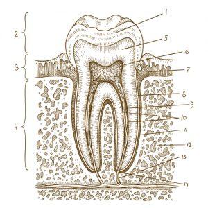 Pierwsze mycie zębów odbywa się zanim dziecku wyrosna zęby. Zdrowe dziąsła to droga do zdowych zębów.