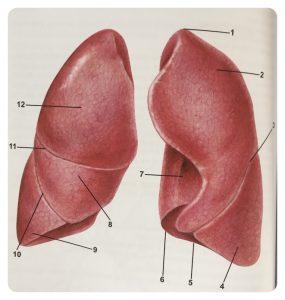 Anatomia płuc